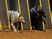 sis expands greyhound racing offering